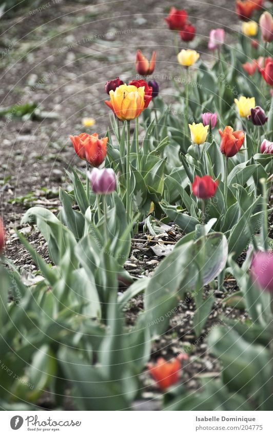 Nature Green Plant Blossom Garden Park Earth Fresh Growth Blossoming Fragrance Tulip Flowerbed