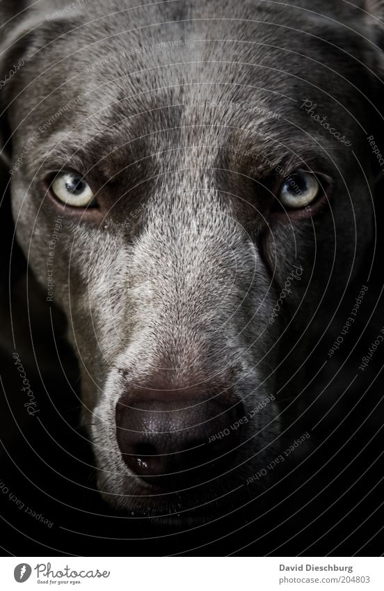 Dog Animal Black Eyes Gray Wild Nose Pelt Animal face Creepy Evil Facial expression Pet Snout Eerie Labrador