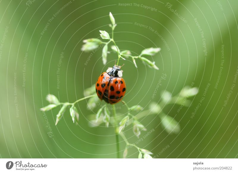 Good luck. Environment Nature Animal Plant Grass Blade of grass Beetle Ladybird 1 Sit Wait Green Red Happy Good luck charm Colour photo Exterior shot