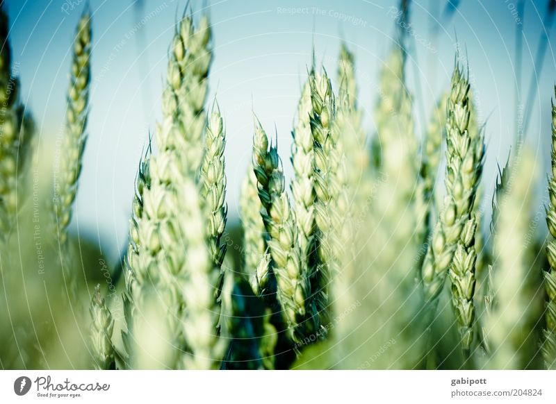 Green Blue Nutrition Landscape Field Healthy Food Environment Growth Natural Grain Agriculture Grain Beautiful weather Positive Optimism