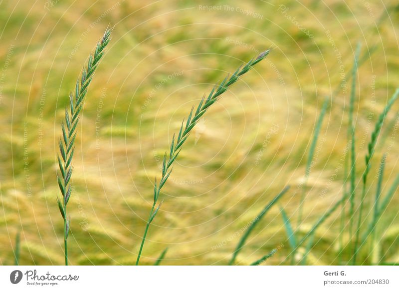 FieldGrass Nature Summer Agricultural crop Wheat Yellow Green Calm Peaceful Colour photo Subdued colour Exterior shot Close-up Deserted Day