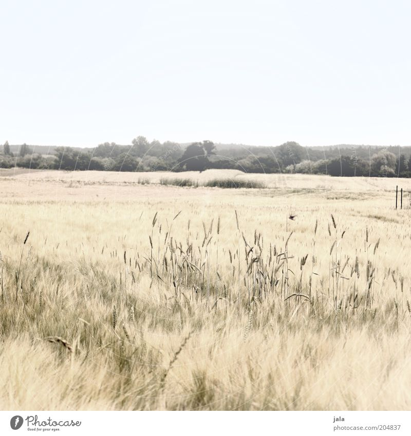 summer fields Nature Landscape Sky Plant Grass Bushes Field Bright Dry Warmth Cornfield Colour photo Subdued colour Exterior shot Deserted Copy Space top Day