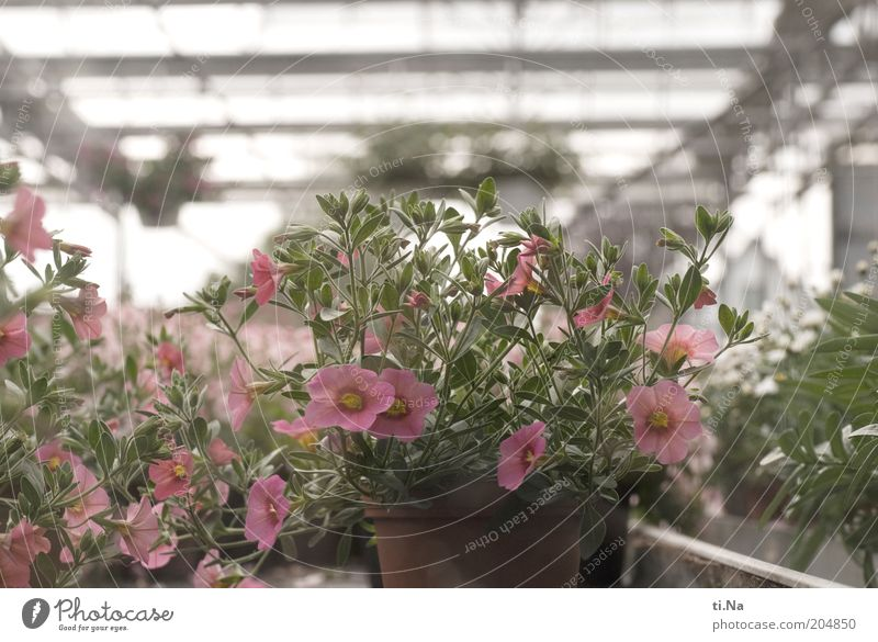 Buy me Market garden Spring Summer Plant Flower Pot plant Manmade structures Building Greenhouse Blossoming Fragrance Growth Bright Beautiful Pink Colour photo
