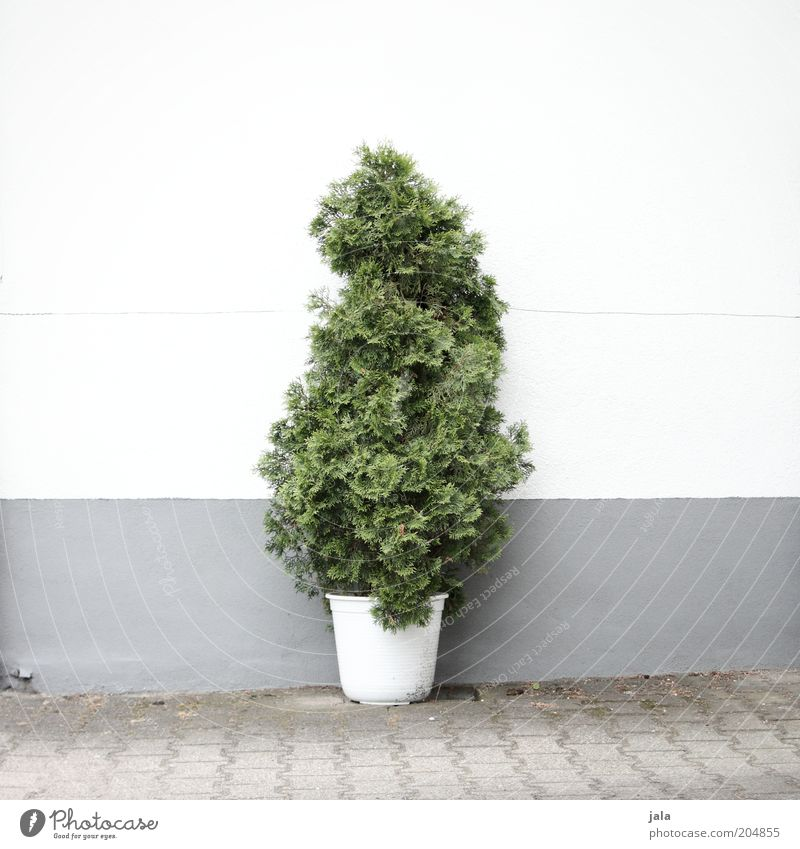 pot plant Plant Tree Foliage plant Pot plant Places Wall (barrier) Wall (building) Facade Good Gray Green White Colour photo Exterior shot Deserted