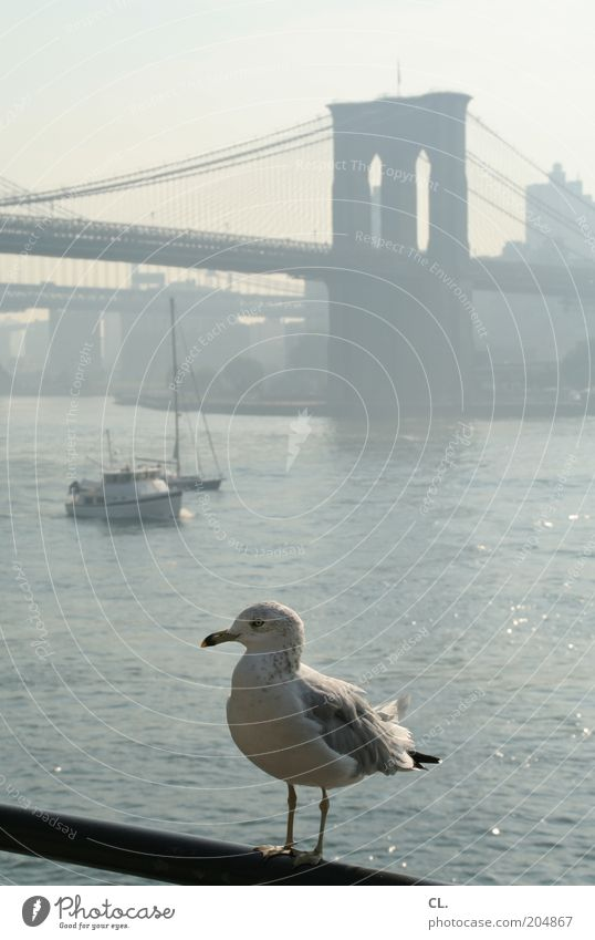 seagull and the city Town Bridge Manmade structures Architecture Tourist Attraction Brooklyn Bridge Animal Bird Animal face Wing Seagull 1 Wanderlust