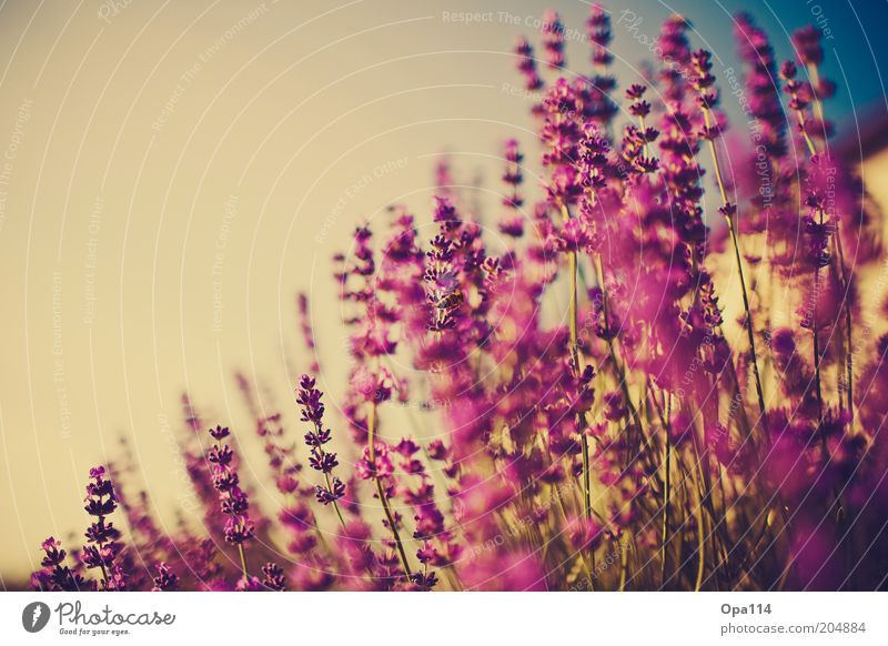 Sky Nature Blue Plant Summer Flower Environment Garden Weather Pink Growth Violet Beautiful weather Blossoming Herbs and spices Fragrance