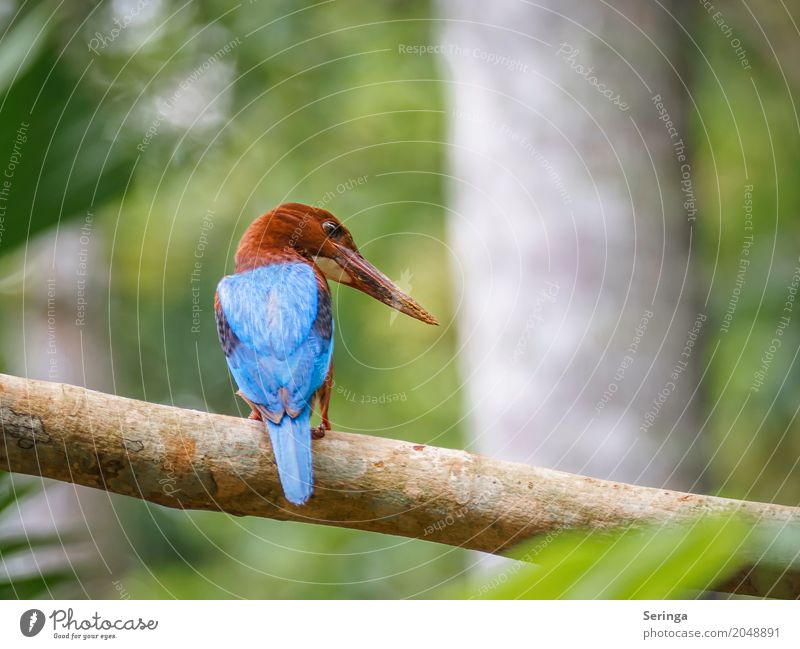 From behind the King Fisher from Sri Lanka Nature Landscape Plant Animal Tree Forest Virgin forest Lakeside River bank Pond Brook Waterfall Wild animal Bird