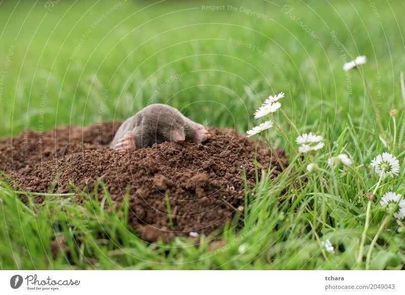 Mole in the garden Face House (Residential Structure) Garden Nature Animal Earth Grass Fur coat Small Natural Cute Brown Green Black mole Mammal dig Horizontal