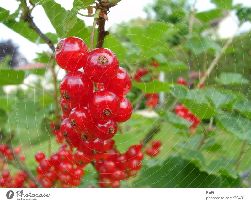 currants Plant Redcurrant Berries Fruit Anger Macro (Extreme close-up)