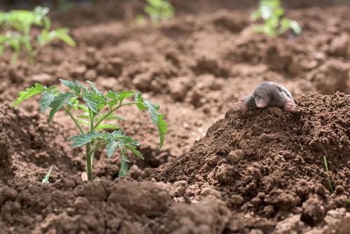 Mole in the garden Vegetable Face Garden Nature Animal Earth Small Natural Cute Brown Green Black mole Mammal dig europaea Horizontal molehill head wildlife