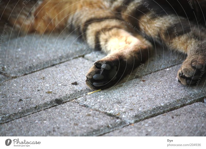 lunging Animal Pet Cat Claw Paw 1 Relaxation Cuddly Gray Happy Contentment Cool (slang) Serene Fatigue Exhaustion Tiger skin pattern Pelt Legs Velvety