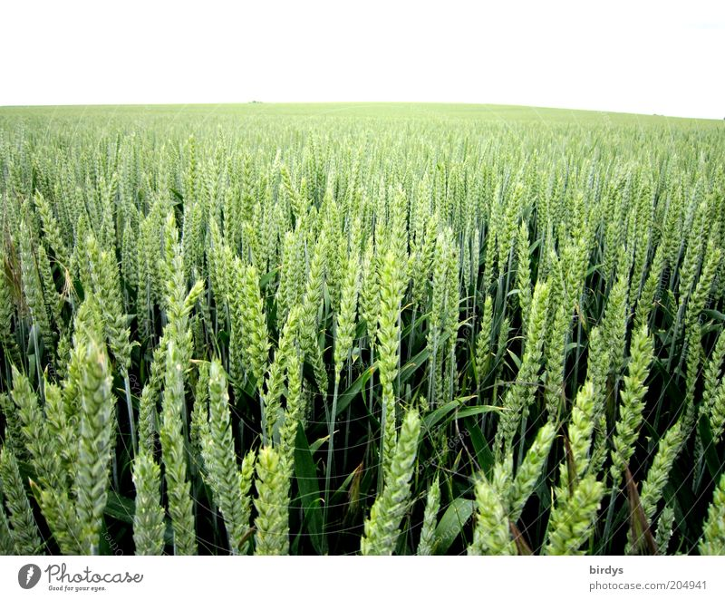 Nature Green Plant Summer Far-off places Field Food Horizon Infinity Grain Luxury Agriculture Wide angle Wheat Ear of corn Agricultural crop