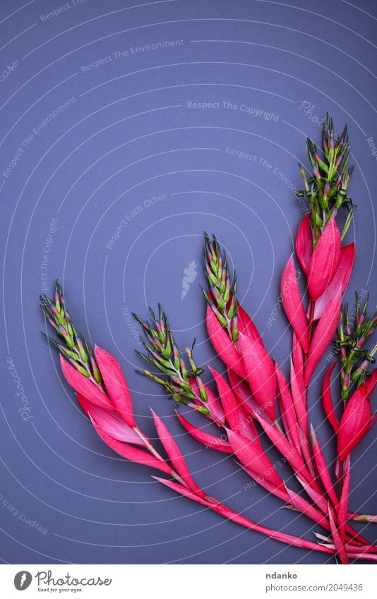 bouquet of pink Billbergia Beautiful Decoration Table Valentine's Day Mother's Day Easter Birthday Plant Flower Leaf Blossom Bouquet Love Fresh Bright Natural