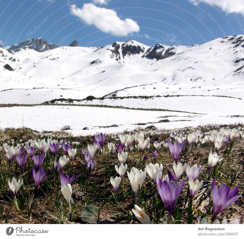 Spring at height Vacation & Travel Freedom Snow Mountain Landscape Plant Sky Clouds Beautiful weather Flower Blossom Wild plant Crocus Alps Peak Snowcapped peak
