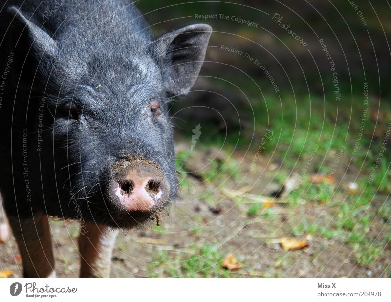 Nature Animal Baby animal Wild Dirty Zoo Swine Snout Farm animal Pigs Piglet Animal portrait Petting zoo