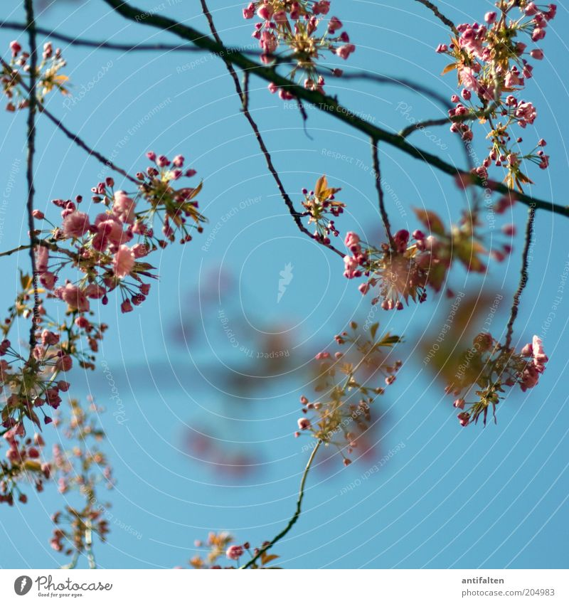 Picture no. 80 Nature Plant Sky Cloudless sky Tree Blossom Cherry blossom Wild cherry Branch Esthetic Fresh Beautiful Blue Pink Red Twig Bud Blossom leave
