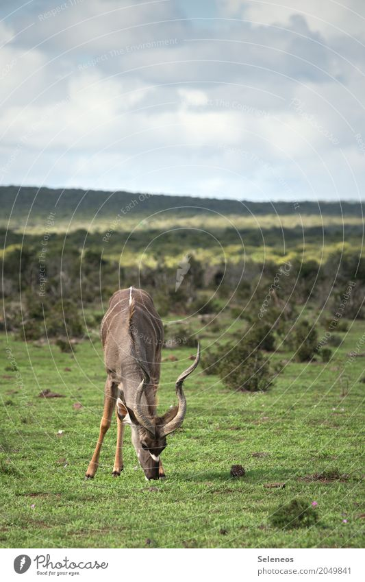 kudu Vacation & Travel Tourism Trip Adventure Far-off places Freedom Safari Expedition Environment Nature Landscape Sky Clouds Horizon Grass Bushes Animal