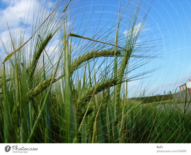Wind Grain Agriculture Cornfield Barley