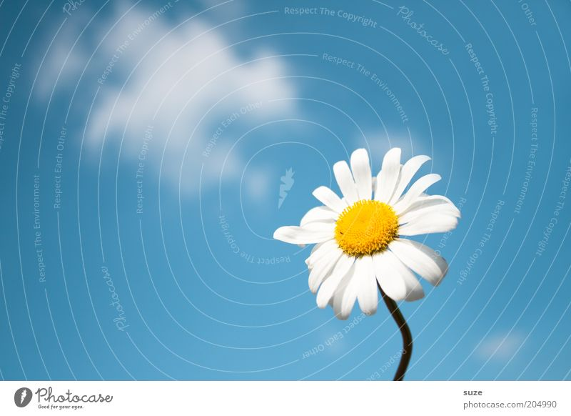 for you Fragrance Summer Environment Nature Plant Air Sky Spring Flower Blossom Esthetic Free Fresh Natural Blue Daisy Marguerite Background picture Seasons