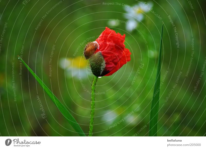 Nature Water Green Beautiful Plant Red Flower Summer Environment Blossom Wet Natural Fresh Drops of water Simple