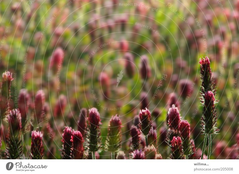 Nature Plant Red Meadow Blossom Field Stalk Clover Flower Agricultural crop Part of the plant Red clover