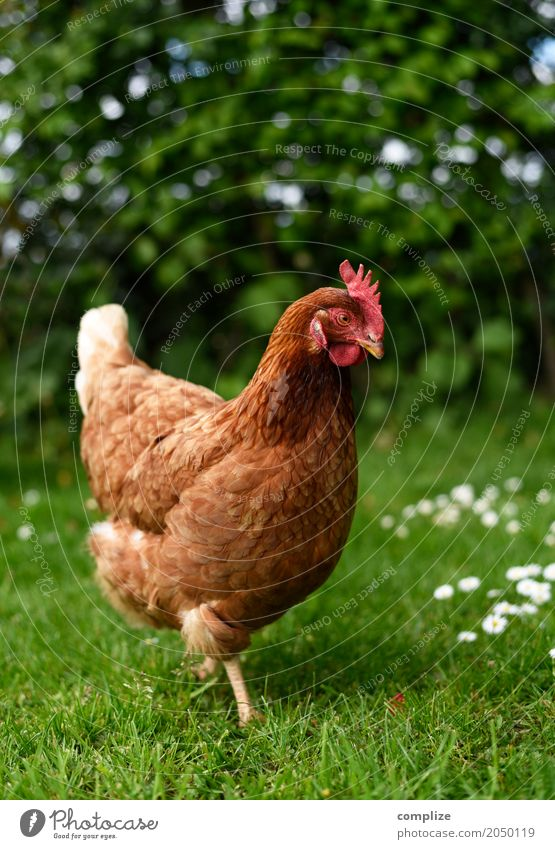 I wish I was a chicken Food Meat Egg Nutrition Eating Breakfast Wellness Leisure and hobbies Living or residing Easter Environment Nature Garden Meadow Field