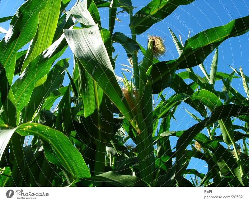 in the maize field Maize field Agriculture Green Summer Physics Field Grain Blue Sky Sun Warmth