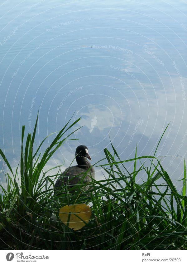 coot Coot Bird Grass Lake Leaf Water Gull birds Blue