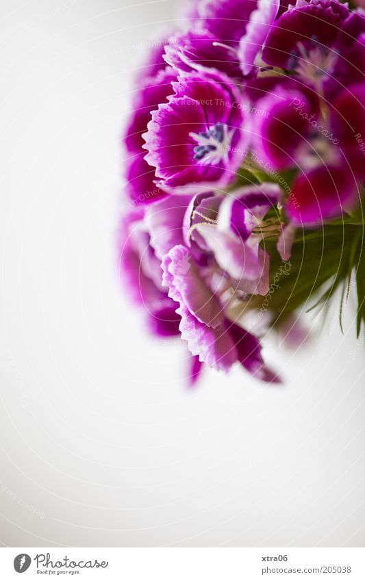 girlish Plant Flower Blossom Violet Pink Colour photo Interior shot Close-up Copy Space bottom Shallow depth of field Dianthus caryophyllus Blossoming