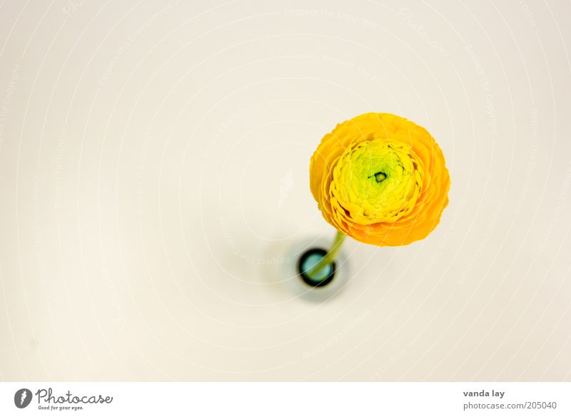 Text space ;-) Flower Fresh Vase Buttercup Orange Round Circle Decoration Colour photo Multicoloured Deserted Copy Space left Copy Space right Copy Space top