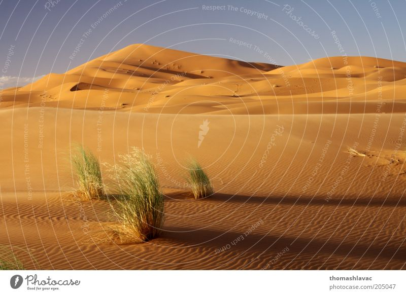 Sahara in Morocco Environment Nature Landscape Plant Sand Sky Sunrise Sunset Beautiful weather Warmth Grass Wild plant Desert Vacation & Travel Dune