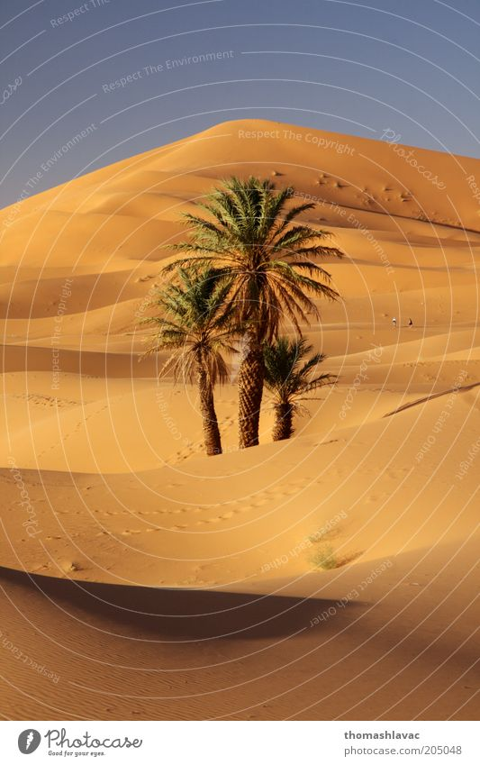 Sahara in Morocco Environment Nature Landscape Plant Sand Sunlight Beautiful weather Warmth Tree Wild plant Palm tree Desert Vacation & Travel Dune Colour photo