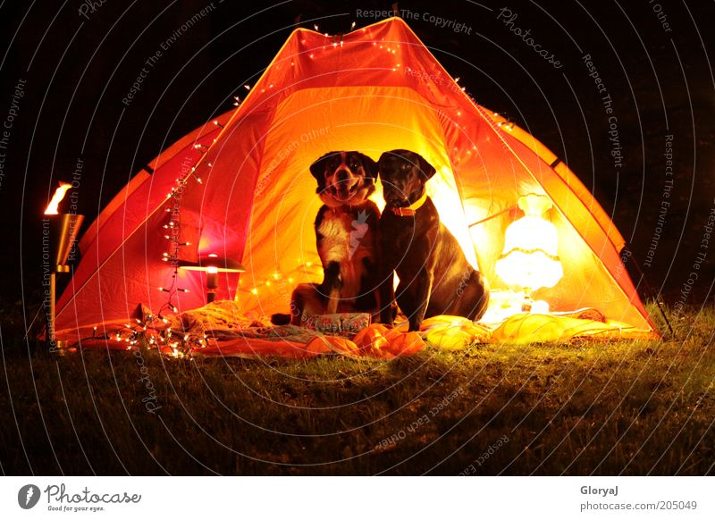 light-flooded night Pet Dog 2 Animal Pair of animals Observe Sit Funny Yellow Red Black Moody Trust Loyal Love of animals Romance Colour photo Exterior shot