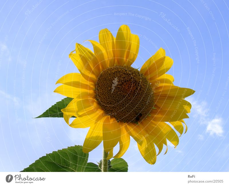 sunflower Sunflower Flower Plant Summer Sky