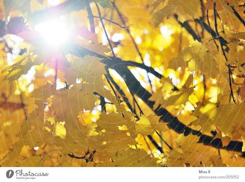 Autumn is daaa Tree Leaf Yellow Gold Sun Branch Maple tree Autumn leaves Autumnal Colour photo Multicoloured Exterior shot Reflection Sunlight Sunbeam Branchage
