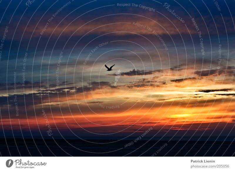 seagull in the evening sky Environment Nature Landscape Animal Elements Earth Air Water Sky Clouds Sunrise Sunset Summer Weather Beautiful weather Coast