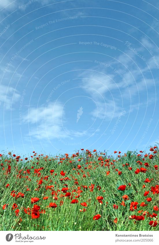 once again Mohntag Nature Plant Sky Clouds Summer Beautiful weather Poppy Blossom Blossoming Natural Warmth Blue Green Red White Colour Poppy field