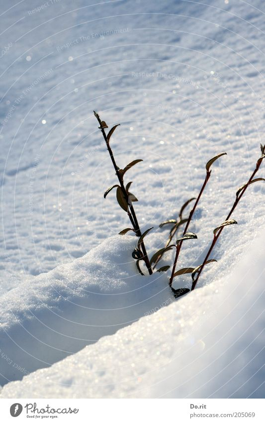 Snow bath pleasing - with this beautiful weather? Environment Nature Sun Winter Climate Climate change Beautiful weather Ice Frost Plant Bushes Free Fresh Cold