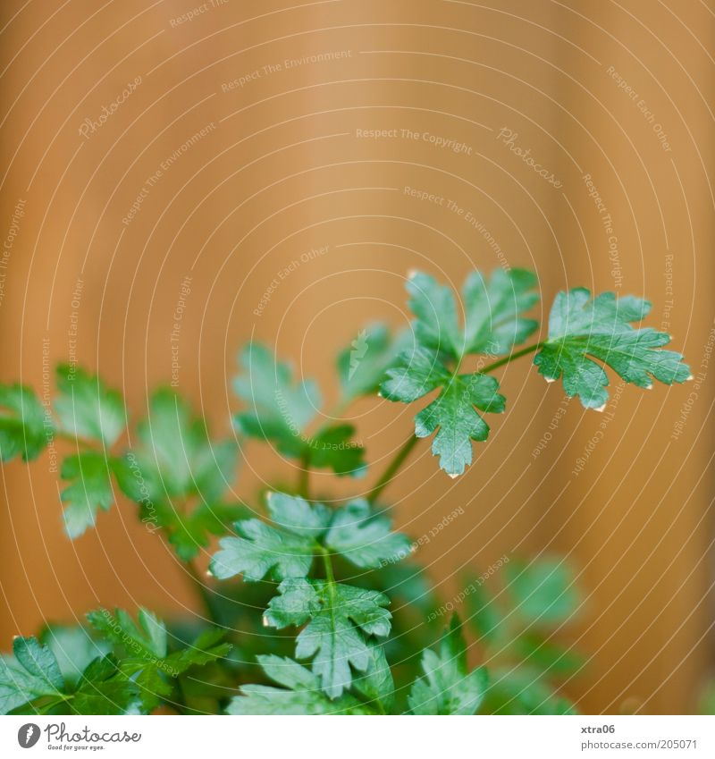 Nature Plant Leaf Herbs and spices Delicious Agricultural crop Parsley Herbs