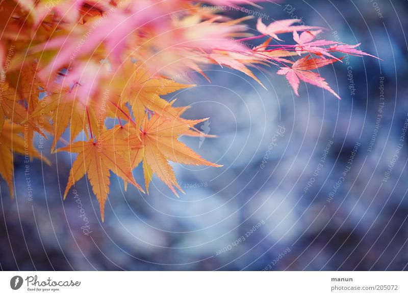 Nature Beautiful Old Leaf Yellow Autumn Pink Growth Change Violet Transience Twig Faded Autumn leaves Maple tree Autumnal