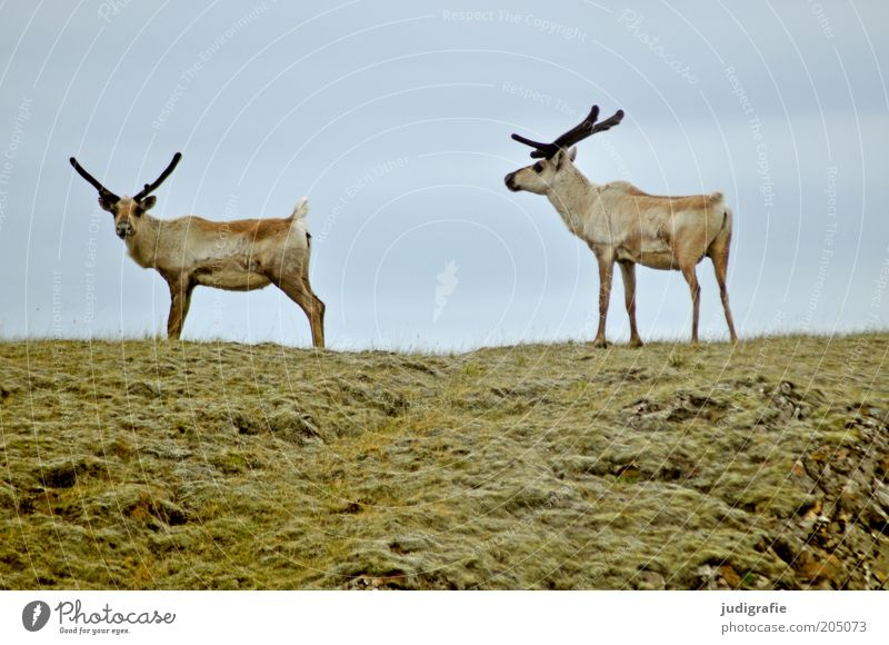 Nature Sky Animal Meadow Grass Moody Together Pair of animals Going Environment Stand Observe Natural Hill Wild animal Iceland
