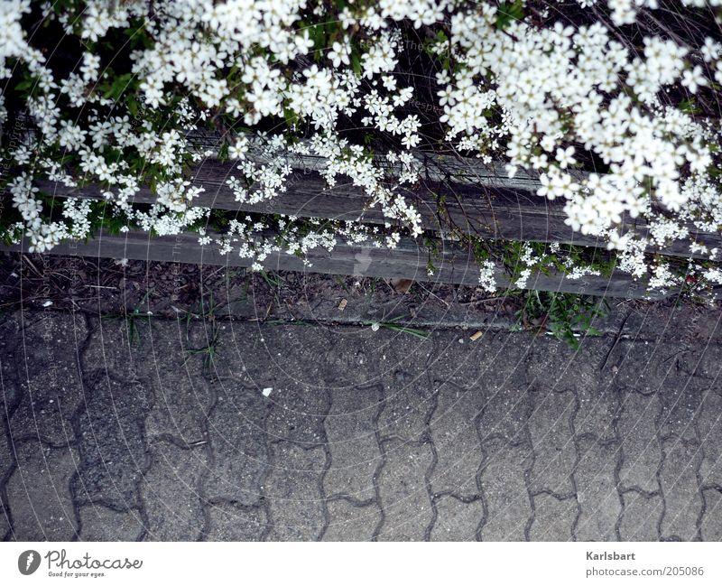 Nature White Plant Summer Flower Blossom Gray Lanes & trails Environment Stone Safety Bushes Border Sidewalk Traffic infrastructure Fence