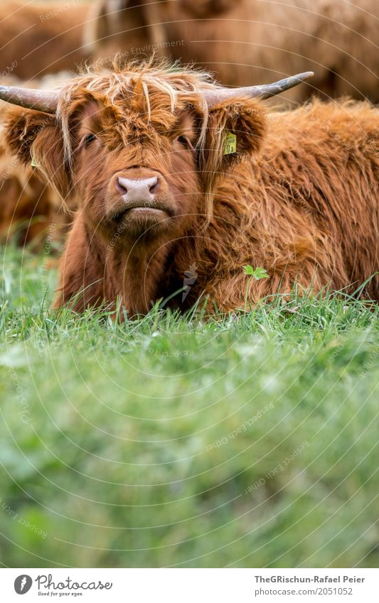 highland cattle Animal Farm animal Cow 1 Brown Green Antlers Nose Snout Eyes Hair and hairstyles Cattle High plain Highland cattle Long-haired Tousled