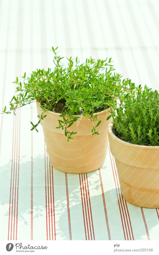 tart alive Food Herbs and spices Nutrition Organic produce Vegetarian diet Flowerpot Decoration Bright Green Thyme Culinary Stripe Terracotta Fresh Aromatic