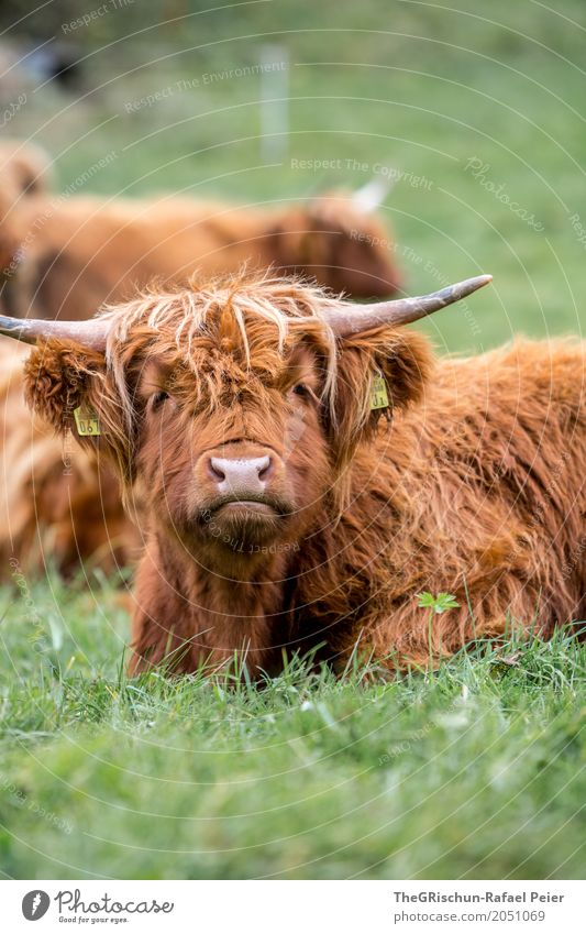 highland cattle Animal Farm animal Cow 1 Brown Green Pasture Highland cattle Tousled Hair and hairstyles Antlers Lie To feed Nose Snout Long-haired Grass