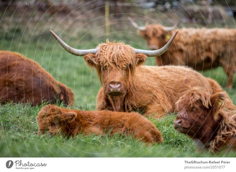 highland cattle Animal Farm animal Cow Group of animals Herd Brown Green Antlers Hair and hairstyles Baby Baby animal Mother Pasture Grass Eating Rest Cute