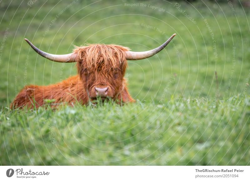 longhorn Animal Farm animal Cow 1 Brown Green Antlers Nose Mop of curls Tousled Grass Pasture To feed Esthetic Cute Peaceful Living thing Lie Highland cattle
