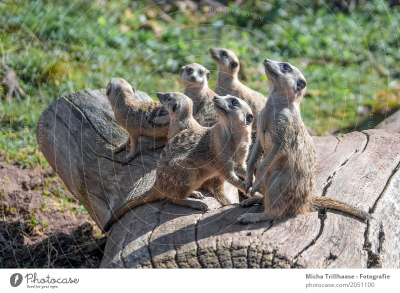 Meerkat family on the tree trunk Nature Animal Sun Sunlight Weather Beautiful weather Plant Tree Grass Wild animal Animal face Pelt Claw Paw Group of animals