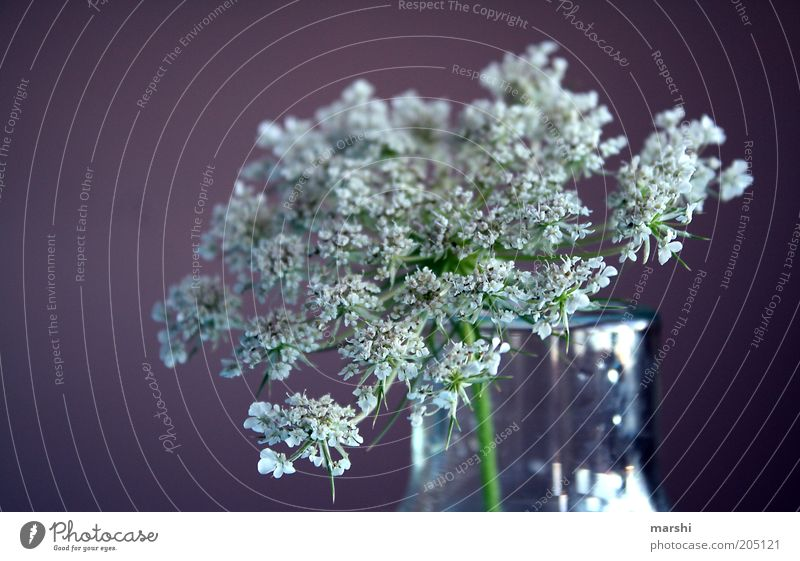 **** Nature Plant Spring Summer Violet White Vase Decoration Blur Blossom Colour photo Elderflower Flower vase Close-up Neutral Background