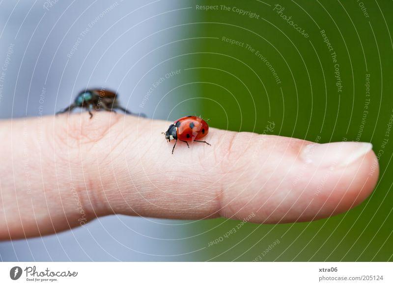 hubert III. vs. hubert IV. Fingers Animal Beetle Ladybird June beetle Fingernail Crawl Colour photo Exterior shot Close-up Detail Copy Space top Sunlight
